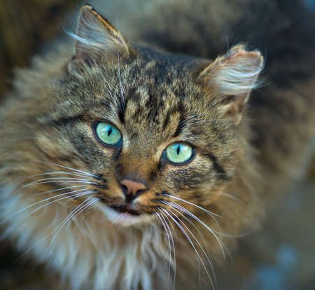 domestic cat looking in camera  staring eyes Stock Photo