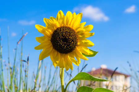 one yellow bright sunflower on a blur house background. Blue sky around. Stock Photo - 18560367
