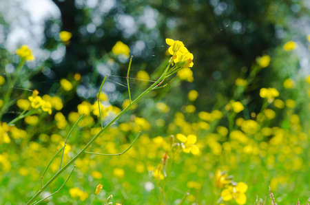 Meadow of yellow flowers with gossamer  Beauty nature background  photo