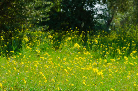 gossamer: Meadow of yellow flowers with gossamer  Beauty nature background  Stock Photo