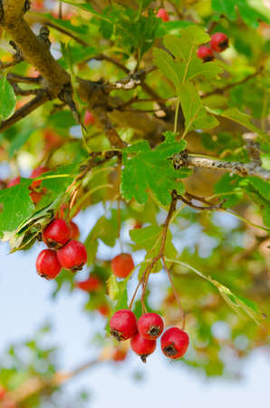 red vitaminic healthy berry on a branch  mature food Stock Photo - 18925690