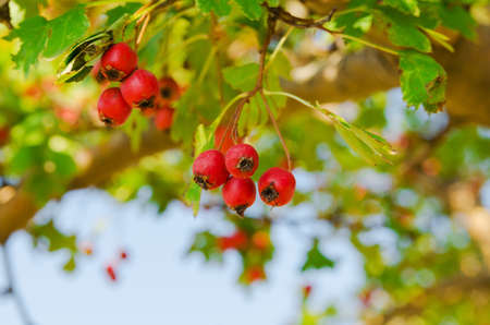 red vitaminic healthy berry on a branch  mature food Stock Photo - 18925697