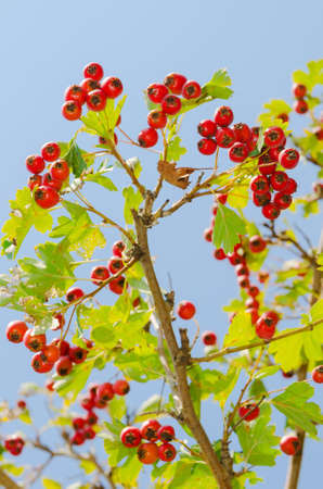 red vitaminic healthy berry on a branch  mature food Stock Photo - 18925691