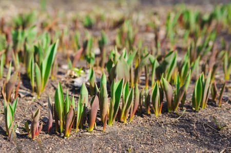 young springs sprout of tulips  New nature season Stock Photo - 19145966