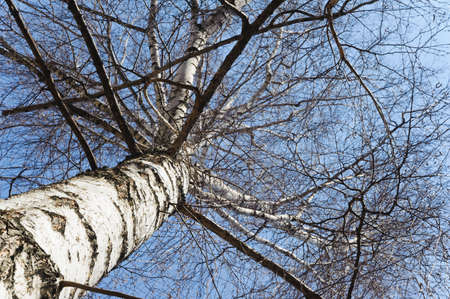 naked birch tree in a spring  unusual angle view photo