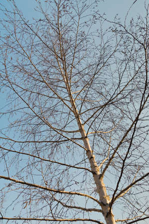 naked thin birch tree in a spring  upward angle view Stock Photo - 19145982