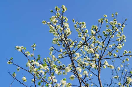 white flowers of freshness blossoming tree  Beauty of nature Stock Photo - 19684818