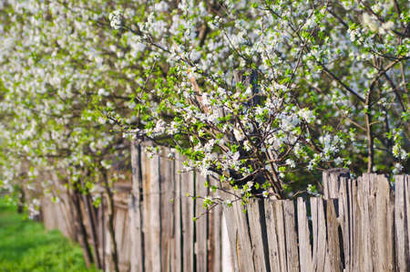 white flowers of freshness blossoming trees  Beauty nature backgrounds Stock Photo - 19684819