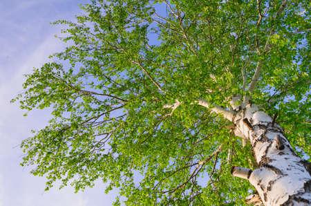 lush foliage of summer birch  Nature backgrounds Stock Photo