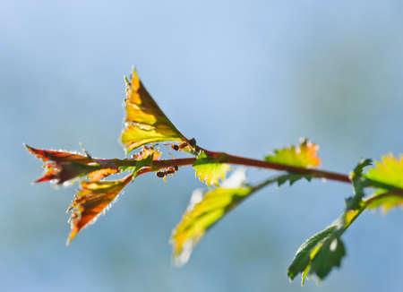 clamber: due piccole formiche si arrampicano sulla foglia della pianta. Macro fotografia