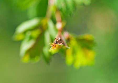 clamber: uno piccole formiche si arrampicano sulla foglia della pianta. Macro fotografia Archivio Fotografico