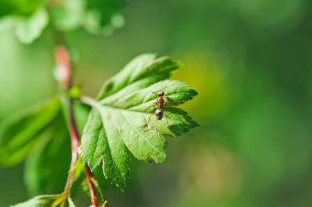 clamber: uno piccole formiche si arrampicano sulla foglia della pianta. Macro foto
