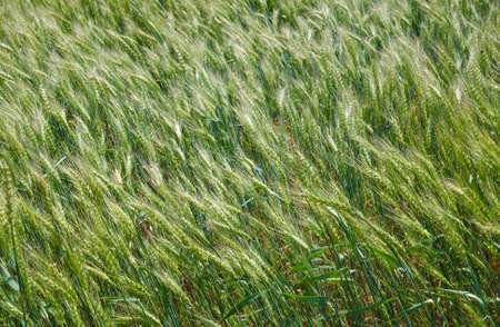 to sway: green ears of wheat to sway in a wind