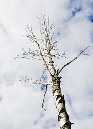 cloudiness: one bare autumn birch on a blue clouds sky backgrounds  cloudiness weather
