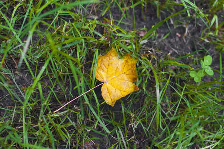 One new maple yellow leaf laying on earth photo