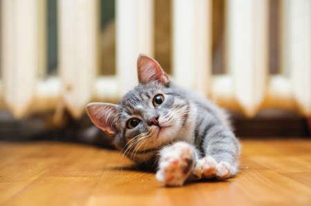 国内の怠惰な短毛若いヒゲ猫自ら横になっているとストレッチ