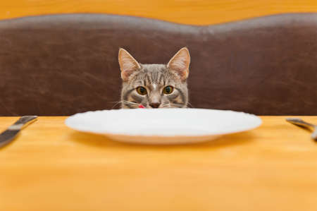 young cat after eating food from kitchen plate. Focus on a cat Stock Photo