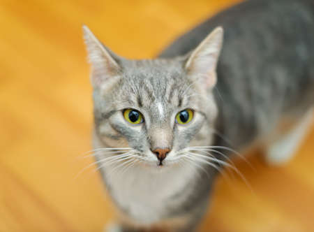shorthaired: domestic short-haired young whiskered cat stand and looking
