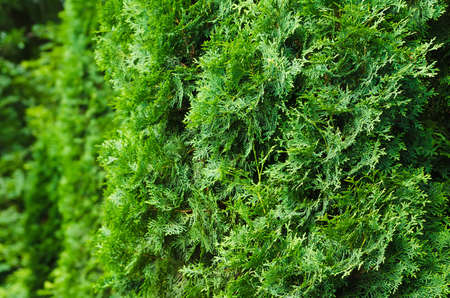 saturated: saturated green leaves of thuja. Bright lush foliage background. focus on right side of photo