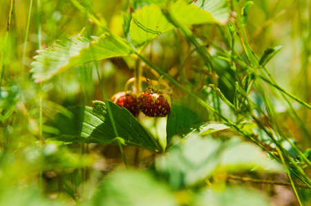 thick growth: meadow ripe wild strawberry in a blur green grass backgrounds. selective focus technique