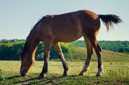 swish: brown horse eating green grass and swish tail. backlight photo