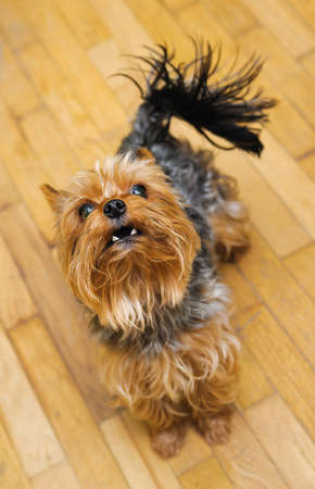 dishevelled: Small Yorkshire terrier looking up and yap. focus on a head