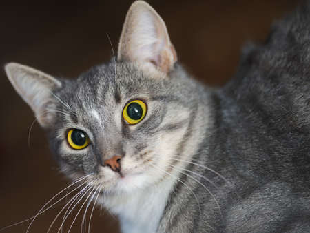 inquiring: domestic short-haired young whiskered cat looking