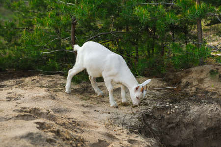nanny goat: white young nanny goat searching food in a forest Stock Photo