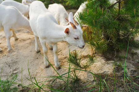 nanny: white young nanny goat searching food in a forest Stock Photo