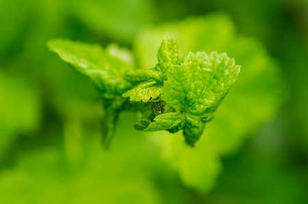 hormiga hoja: Un peque�o hormigas trepan en la hoja de la planta. foto macro. Foco en el cuerpo de la hormiga