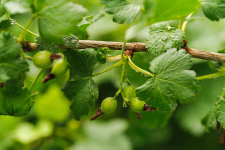 folliage: green currant on a blur leaves background Stock Photo