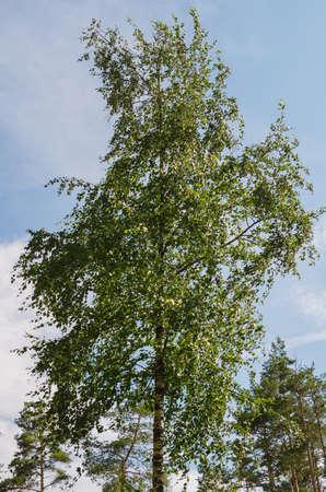 lush foliage: lush foliage of summer birch in wind weather