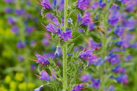 echium: Flower of vipers bugloss plant (Echium vulgare) and motion blurred bee