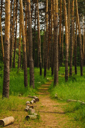 tall tree: road into pine forest with tall tree
