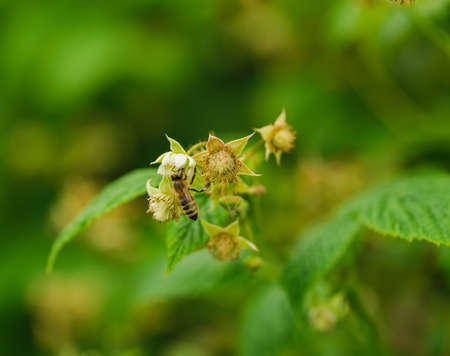 pollination: one small bee pollination flower on a raspberry cane with copy space place Stock Photo