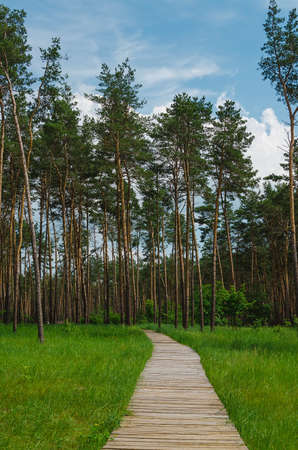 tall tree: wood road into pine forest with tall tree Stock Photo