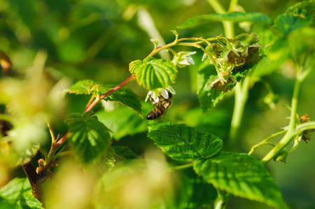 assiduous: one small bee pollination flower on a raspberry cane with copy space place Stock Photo