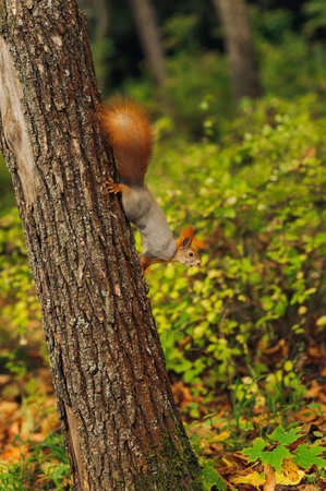 small curious squirrel on a tree trunk and looking down