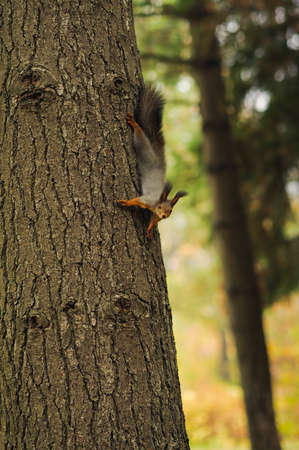 defenceless: small curious squirrel on a tree trunk and looking down