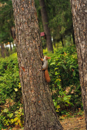 defenceless: small curious squirrel on a tree trunk and looking up Stock Photo