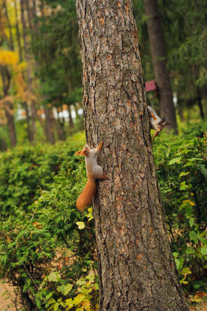 unprotected: two playing small curious squirrel on a tree trunk Stock Photo