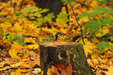 titmouse: small bird on a stump before eating. Care of animals