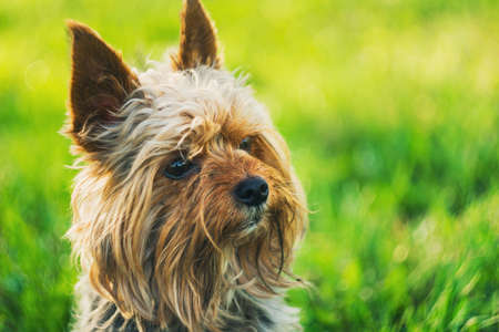 Small Yorkshire terrier on green nature backgrounds Stock Photo