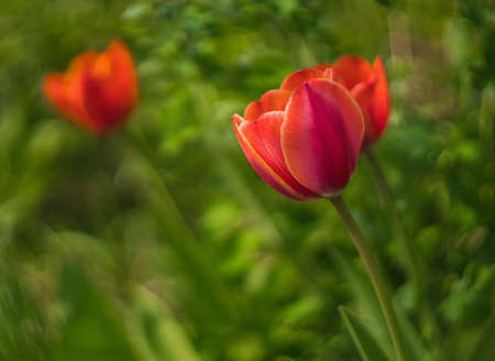 fragile beauty of red tulip flower in a garden. Soft focus on the old retro lens