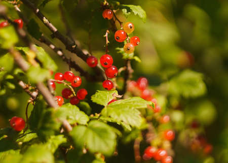 red currant on a blur leaves backgrounds. Soft focus on the old vintage lens