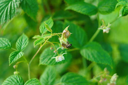 assiduous: one small bee pollination flower on raspberry cane