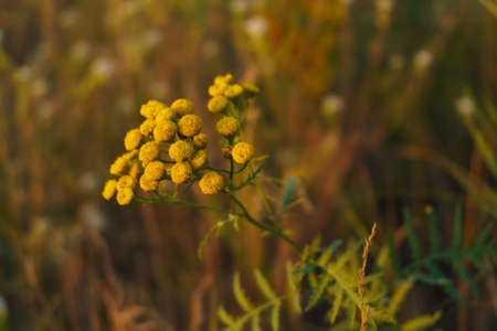 tansy grass in a meadow. selective soft focus technique Stock Photo