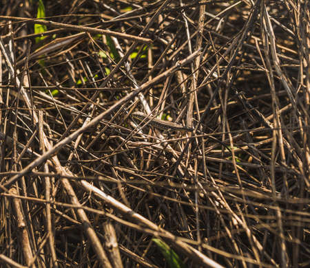 small basking in the sunshine brown lizard in a brushwood  Stock Photo
