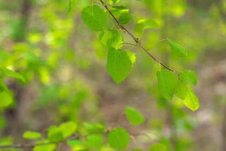 fresh green summer birch leaves background. selective focus technique