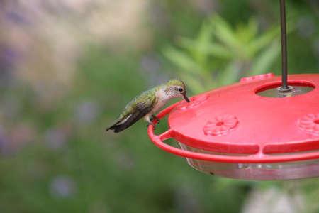 feeder: Hummingbird at feeder